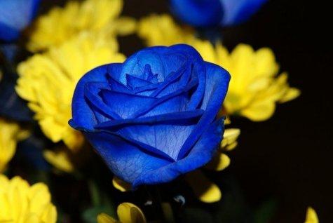 Rosas Azules!!