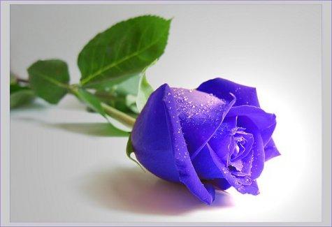 Rosas Azules Naturales