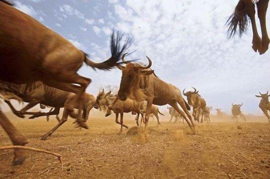 О миграции животных